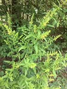 Dasistoma macrophylla - Dwayne Estes
