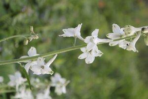 Delphinium carolinianum ssp. calciphilum - Joey Shaw