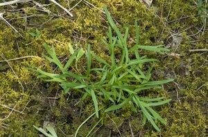 Delphinium carolinianum ssp. calciphilum - Margie Hunter