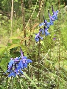 Delphinium carolinianum ssp. calciphilum - Milo Pyne