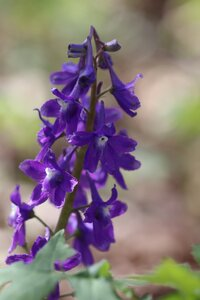 Delphinium tricorne - Ashley B. Morris