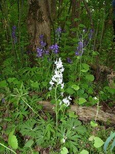 Delphinium tricorne - Milo Pyne