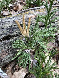 Dendrolycopodium obscurum - Milo Pyne