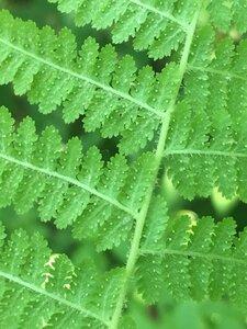 Dennstaedtia punctilobula - Theo Witsell