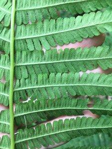 Deparia acrostichoides - Joey Shaw