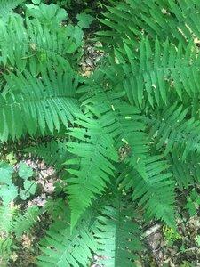Deparia acrostichoides - Tara Littlefield