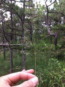 Deschampsia cespitosa ssp. glauca - Dwayne Estes
