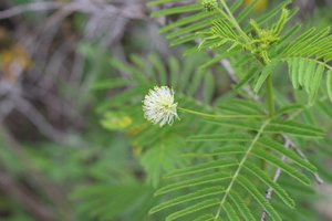 Desmanthus illinoensis - Ashley B. Morris