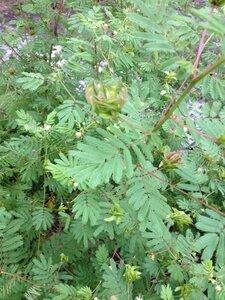 Desmanthus illinoensis - Milo Pyne