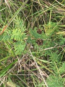 Desmanthus illinoensis - Tara Littlefield