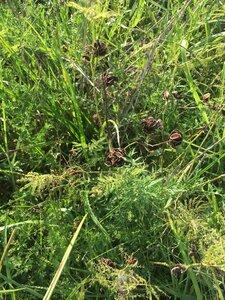 Desmanthus illinoensis - Theo Witsell