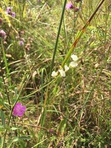 Desmodium sessilifolium - Theo Witsell