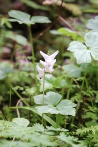 Dicentra cucullaria - Ashley B. Morris