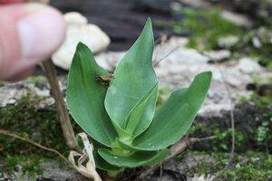 Dichanthelium polyanthes - Dwayne Estes