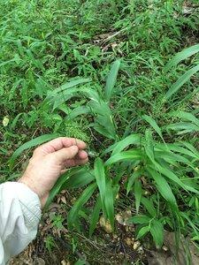 Dichanthelium polyanthes - Joey Shaw