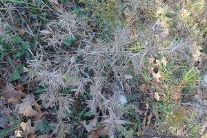 Dichanthelium scoparium - Milo Pyne