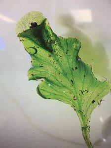 Didymoglossum petersii - Joey Shaw