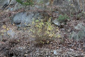 Diervilla sessilifolia - Dwayne Estes
