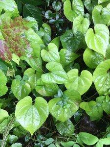 Dioscorea polystachya - Theo Witsell