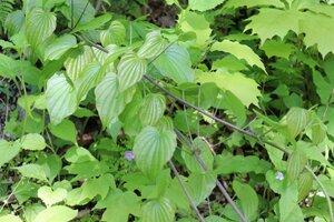 Dioscorea villosa - Ashley B. Morris