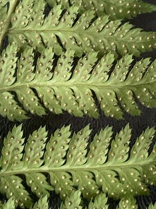 Dryopteris carthusiana - Dwayne Estes