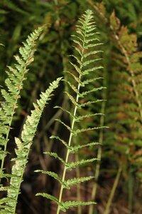 Dryopteris cristata - Dwayne Estes