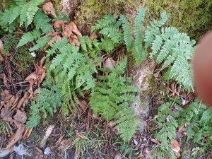 Dryopteris intermedia - Milo Pyne