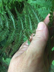 Dryopteris intermedia - Tara Littlefield