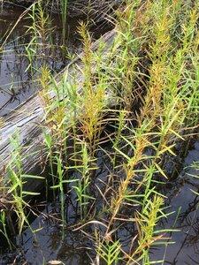 Dulichium arundinaceum var. arundinaceum - Dwayne Estes