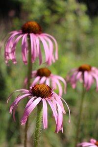 Echinacea simulata - Ashley B. Morris