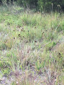 Echinacea simulata - Dwayne Estes