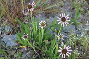 Echinacea tennesseensis - Ashley B. Morris
