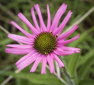 Echinacea tennesseensis - Margie Hunter