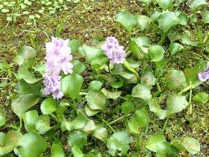 Eichhornia crassipes - Milo Pyne