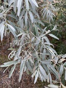 Elaeagnus angustifolia - Dwayne Estes