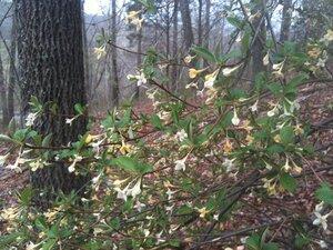 Elaeagnus multiflora - Dwayne Estes
