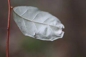 Elaeagnus umbellata - Ashley B. Morris