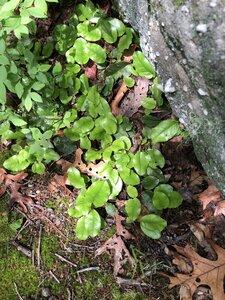 Epigaea repens - Sunny Fleming