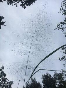 Eragrostis hirsuta - Theo Witsell
