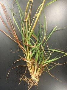 Eragrostis intermedia - Theo Witsell