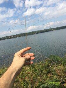 Eragrostis spectabilis - Joey Shaw
