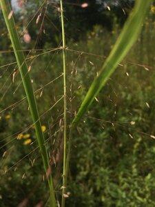 Eragrostis spectabilis - Theo Witsell