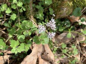 Erigenia bulbosa - Shawn Krosnick