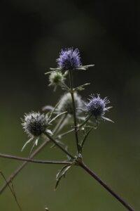 Eryngium integrifolium - Sunny Fleming