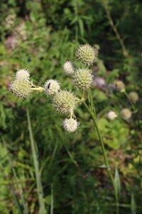 Eryngium yuccifolium var. yuccifolium - Ashley B. Morris