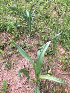 Eryngium yuccifolium var. yuccifolium - Joey Shaw