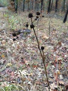 Eryngium yuccifolium var. yuccifolium - Milo Pyne