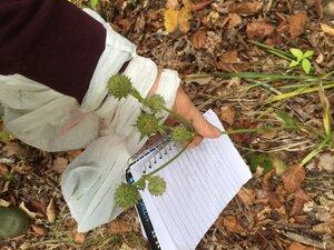 Eryngium yuccifolium var. yuccifolium - Sunny Fleming