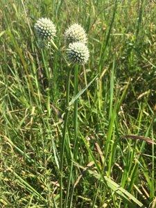 Eryngium yuccifolium var. yuccifolium - Tara Littlefield