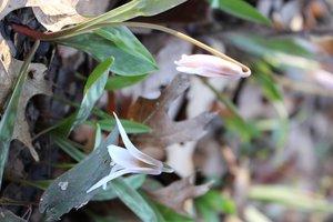Erythronium albidum - Ashley B. Morris
